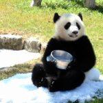パンダはかわいい