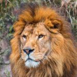 ライオンより強い生物は存在する?!ライオンは本当に百獣の王なのか?! 一番強くなくてもライオンは百獣の王!