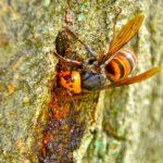 危険生物であるスズメバチは害虫だけど益虫?!スズメバチは意外と人の役に立っている生き物かも?!