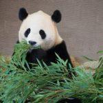 パンダが笹を食べる