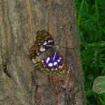 日本の国蝶(こくちょう)を知っていますか?知らない人も多い日本の国蝶「オオムラサキ」ってどんな蝶なの?