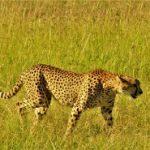 陸上最速の動物であるチーターにも弱点が存在する!?チーターは速いけど強い動物ではない?!