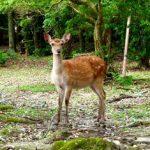 鹿と触れ合いたければどこ?奈良?宮島?鹿は神様の使い?!鹿は可愛いけど恐いし害獣?!