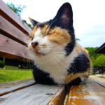 三毛猫のオスは超希少!?伝説の招き猫オスの三毛猫は幸運をもたらすかも?!三毛猫の秘密。
