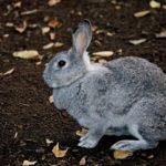 寂しいと死んでしまうと言われるウサギは実は寂しがりではなかった!?ウサギの真実の姿はいかに?!