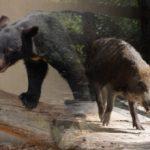 遭遇するかも危険生物のイノシシ・クマ!遭遇したらどうする?危険を回避する対処方法!